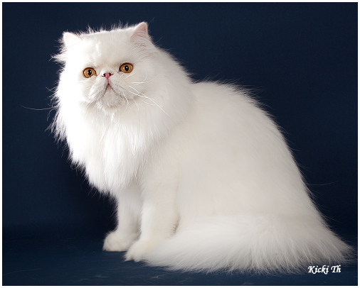 Sire: GIC Boggie´s Crust On Snow  PER w 62   Dam: IC S*Valleberga´s Prime Princess   PER a.   Tested free of PKD with DNA-test. Pure persian pedigree.